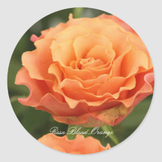 Rosa Blood Orange Classic Round Sticker