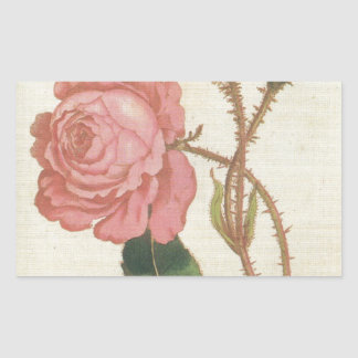 Rosa Cenifolia Muscosa