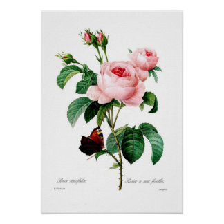 Rosa centiflora poster