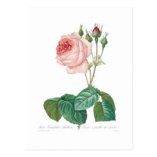 Rosa centifolia bullata postcard