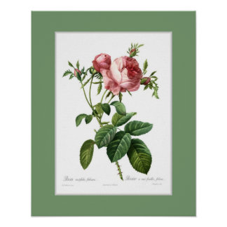 Rosa centifolia foliacea,Custom border Poster