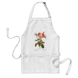 Rosa Centifolia Foliacea Standard Apron
