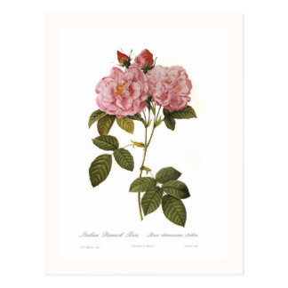 Rosa damascena italica postcard