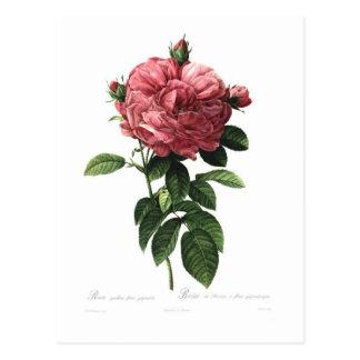 Rosa gallica flore giganteo postcard