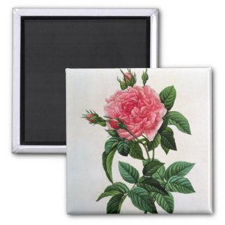 Rosa Gallica Regallis Square Magnet