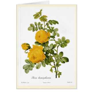 Rosa hemispherica card