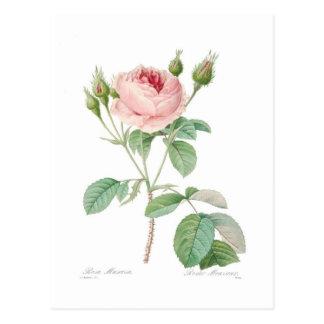 Rosa muscosa postcard