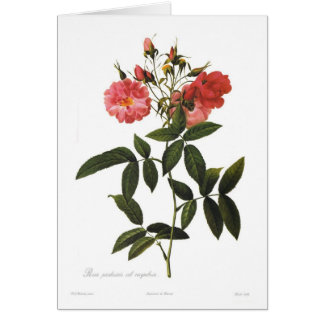 Rosa palustris sub corymbosa card