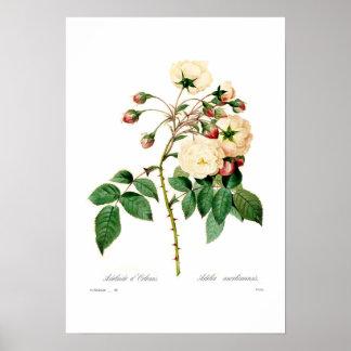 Rosa semperflorens;Adelaide d'Orleans Poster