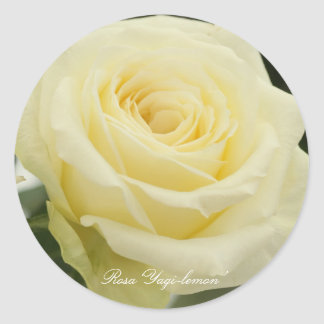 Rosa ` Yagi-lemon' Classic Round Sticker
