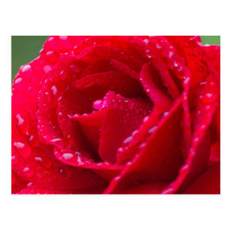 rose after the rain in the garden postcard