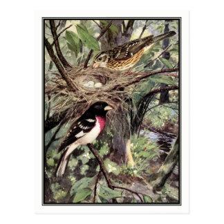 Rose-Breasted Grosbeak - Robert Bruce Horsfall Postcard