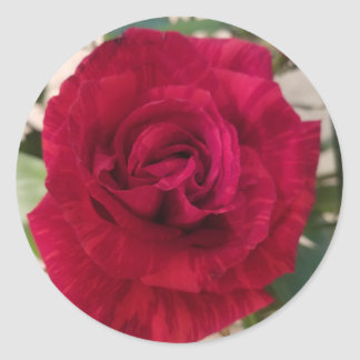 Rose in Bloom sticker