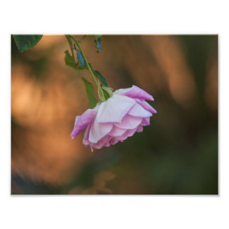 Rose in the morning photo