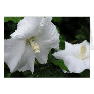 Rose of Sharon (Hibiscus syriacus 'Diana') card