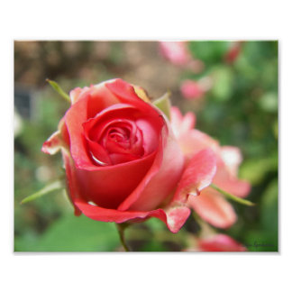 Rose Photo 8x10 Archival Matte Poster Print