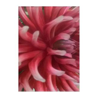 Rose Pink Dalia Hybrid Acrylic Print