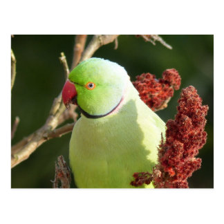 Rose-ringed parakeet postcard