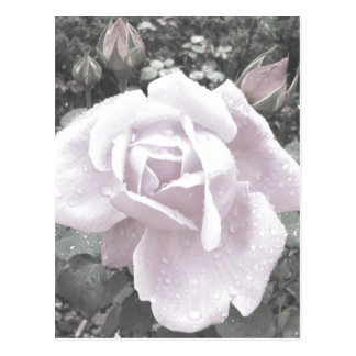 """Rose w/ raindrops"" Postcard"