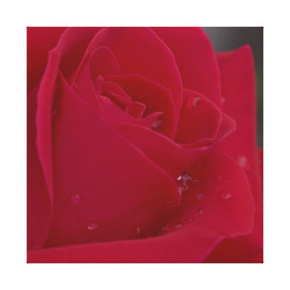 Rose with Dew Canvas Print