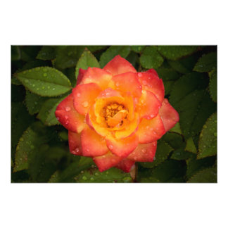 Rose with water droplets photo print