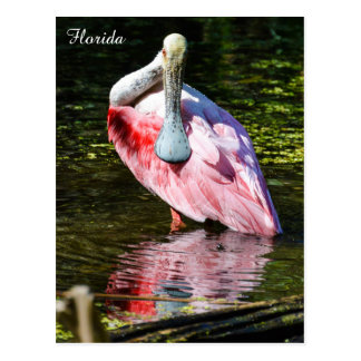 Roseate Spoonbill in Florida Postcard