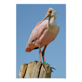 Roseate Spoonbill on wood post Poster