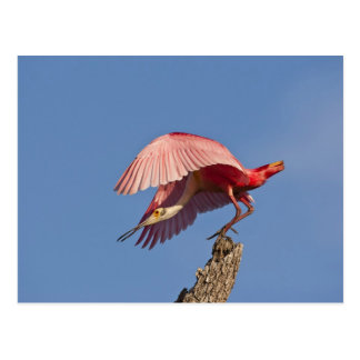 Roseate spoonbill taking off postcard