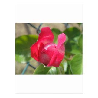 Rosebud Post Cards