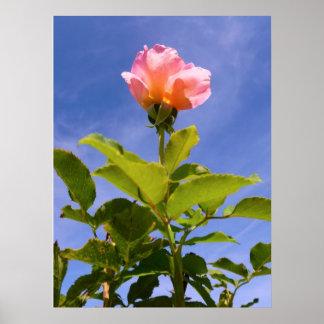 Rosebud Posters