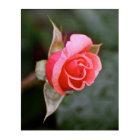 Rosebud Salmon Colour Acrylic Print
