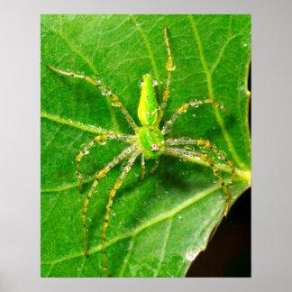 Rosée sur une araignée verte de Lynx Poster