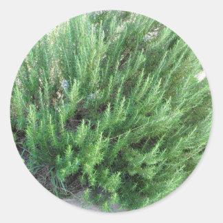 Rosemary plant classic round sticker