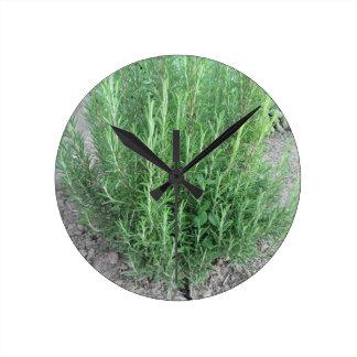 Rosemary plant in the garden . Tuscany, Italy Clock