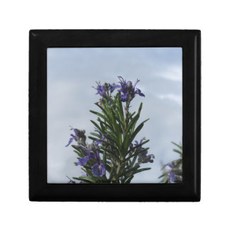Rosemary plant with flowers against the sky gift box