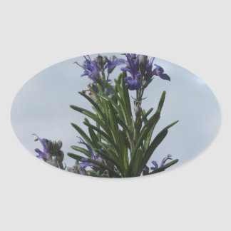 Rosemary plant with flowers against the sky oval sticker