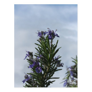 Rosemary plant with flowers against the sky postcard