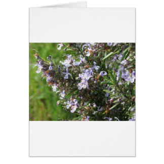 Rosemary plant with flowers in Tuscany, Italy Card