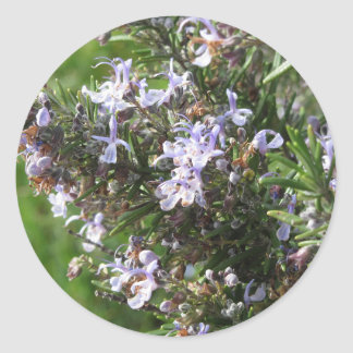 Rosemary plant with flowers in Tuscany, Italy Classic Round Sticker