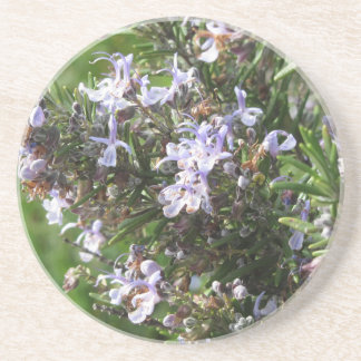 Rosemary plant with flowers in Tuscany, Italy Coaster