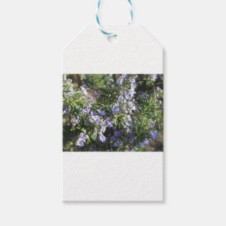 Rosemary plant with flowers in Tuscany, Italy Gift Tags