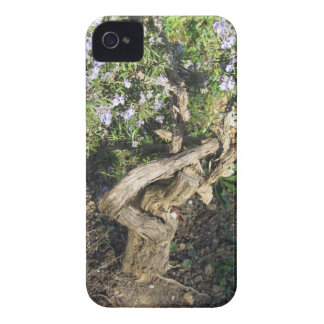 Rosemary plant with flowers in Tuscany, Italy iPhone 4 Case-Mate Cases