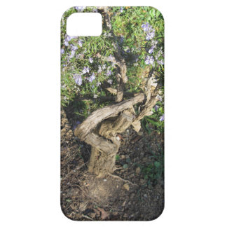 Rosemary plant with flowers in Tuscany, Italy iPhone 5 Cases