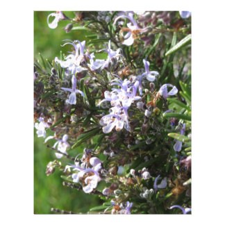 Rosemary plant with flowers in Tuscany, Italy Letterhead