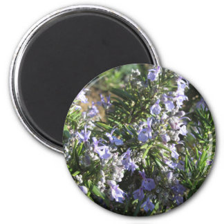 Rosemary plant with flowers in Tuscany, Italy Magnet