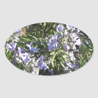 Rosemary plant with flowers in Tuscany, Italy Oval Sticker