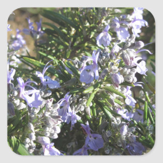 Rosemary plant with flowers in Tuscany, Italy Square Sticker