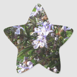 Rosemary plant with flowers in Tuscany, Italy Star Sticker