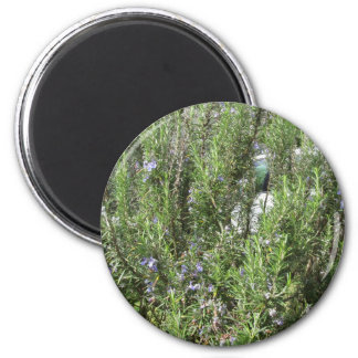 Rosemary plant with flowers . Tuscany, Italy 2 Inch Round Magnet