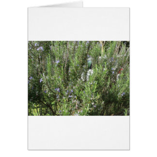 Rosemary plant with flowers . Tuscany, Italy Card
